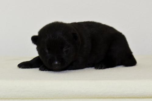 Nori-Litter2-10Days-Puppy6(female)c   by brada1878