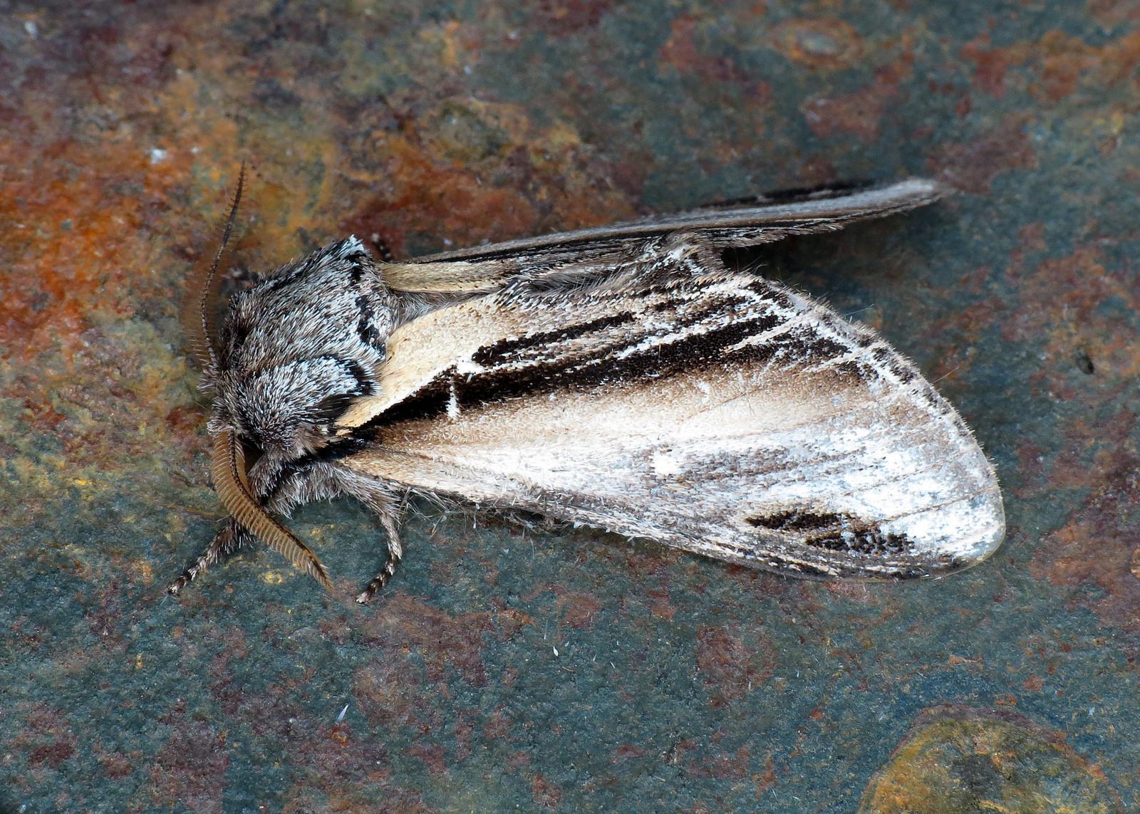 2007 Swallow Prominent - Pheosia tremula
