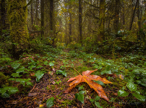 trees woods leaf focusstacking stacked trail fall autumn skunk outdoors maple valley washington state landscape forest green pnw pacific northwest