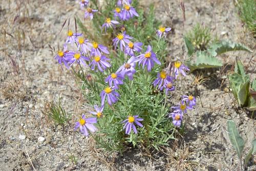 Ionactis alpina 2016.6.1.1 | by geodesert