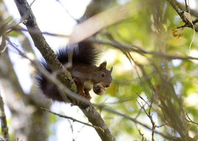 Ardilla... La ardilla roja (Sciurus vulgaris), o simplemente ardilla común, es una especie de roedor esciuromorfo de la familia Sciuridae. Es una de las ardillas más extendidas por los bosques de Europa.