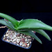 Aloe fleurentinorum, Arabia Saudi