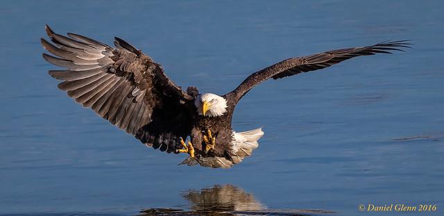Fishing, eagle style...