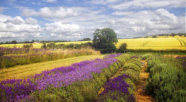Shropshire Lavender Farm