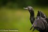Indian Cormorant by ArunaSene