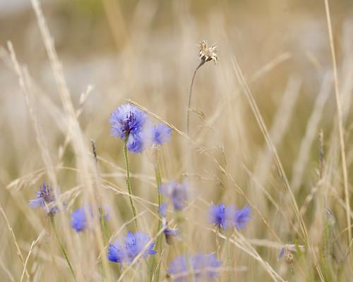 blue macro wind wildflowers ucd cornflowers 100f28l biodiversitylake