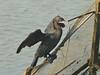 Little Cormorant by SivamDesign