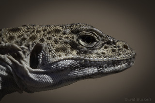 Long-Nosed Leopard Lizard (Gambelia wislizenii) | by David A. Burkart