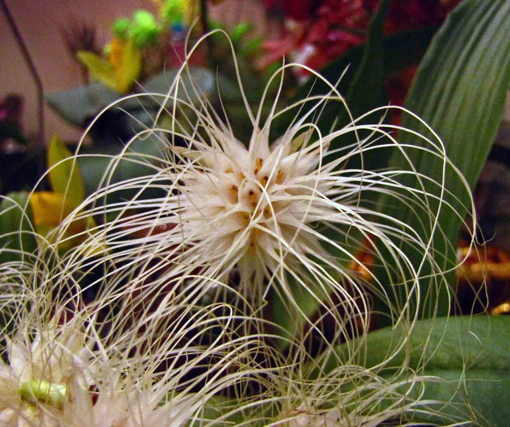 石豆蘭屬 Bulbophyllum medusae [香港沙田洋蘭展 Shatin Orchid Show, Hong Kong]