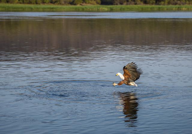 African Fish Eagle, Haliaeetus vocifer, Msuna Fishing Resort, Zambezi River, Zimbabwe 10