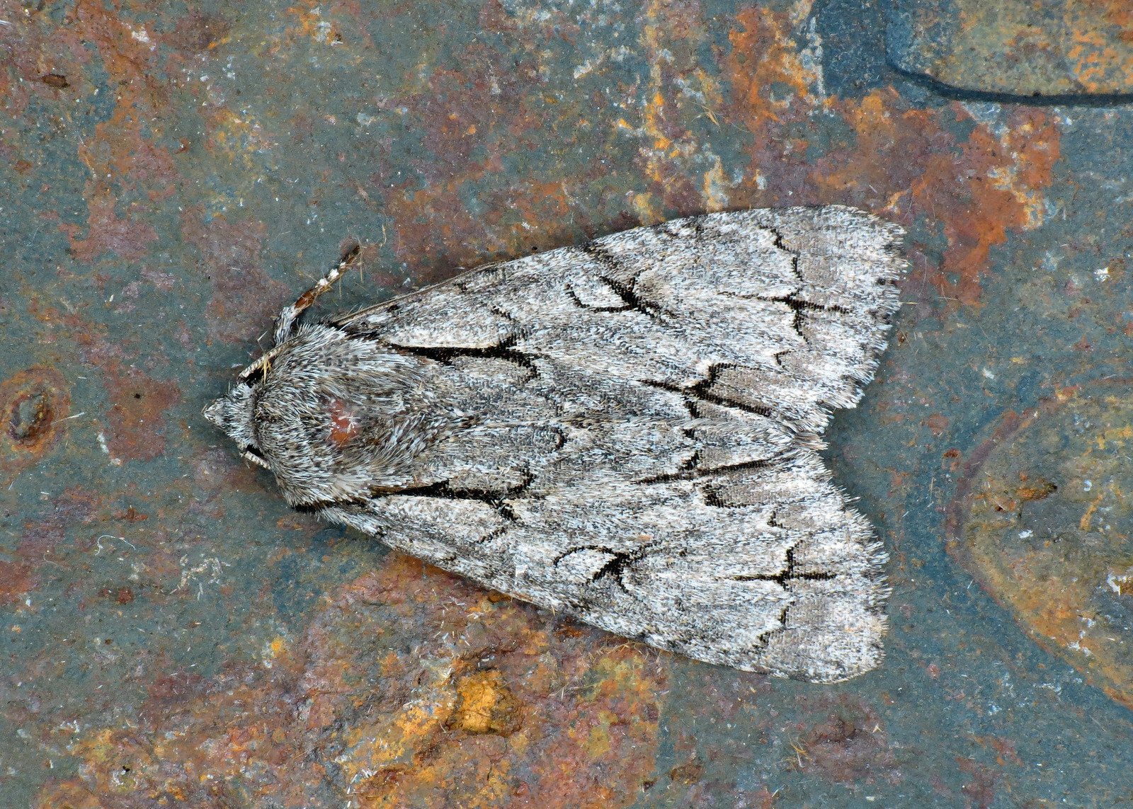 2284x Grey/Dark Dagger - Acronicta psi/tridens