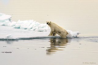 Polar Bear (Ursus maritimus) | by Allan Hopkins