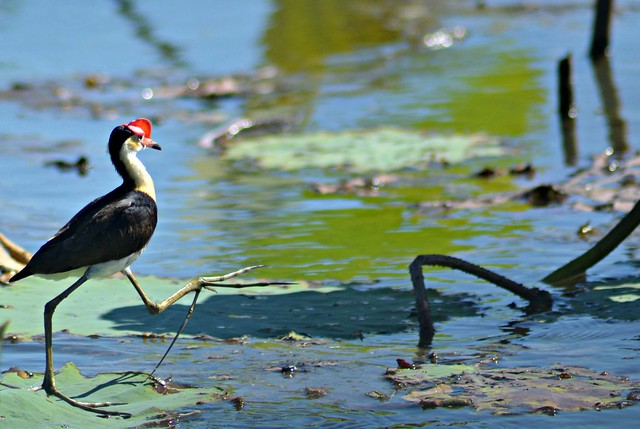 Crown Crested Jacana Running