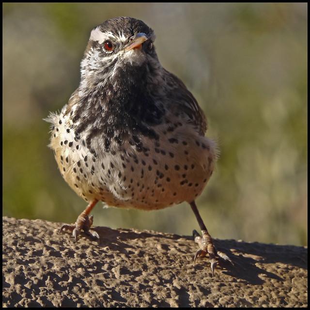 AZ-SO Bird #1; Cactus Wren