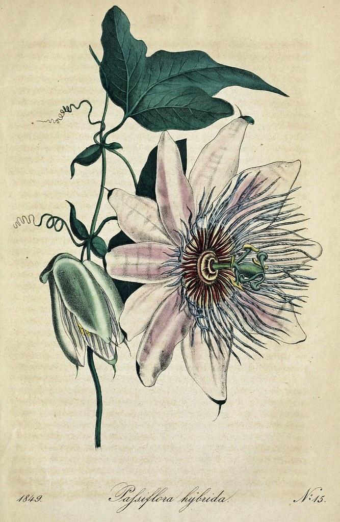 Passion Flower Passiflora Hybrida Deutsches Magazin Fur Flickr