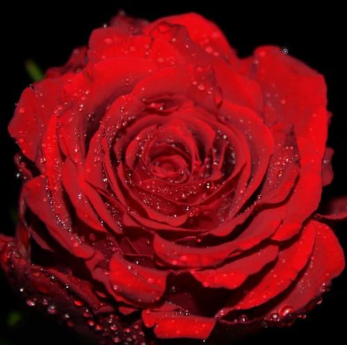 Rose at night!