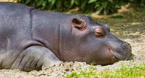 Sleeping young hippo | by Tambako the Jaguar