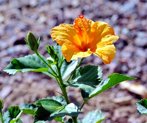 buckeye arizona usa nikondslrcamera nikond3 nikon nikonafnikkor180mmf28difedlens bwfpro72mmuvhaze1xfilter hibiscus flowers yellow