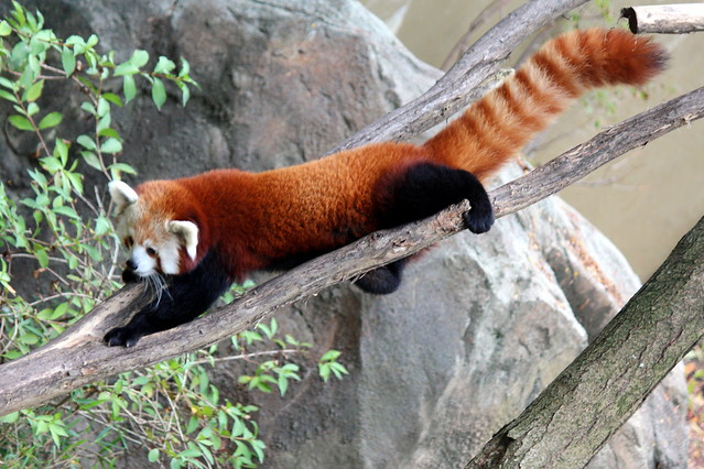 National Zoo - Red Panda