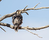 Lanner Falcon (Falco biarmicus) by George Wilkinson