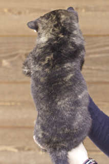 Ayui-Litter4-Day48-Puppy6-Male(Kaiju)-b | by brada1878