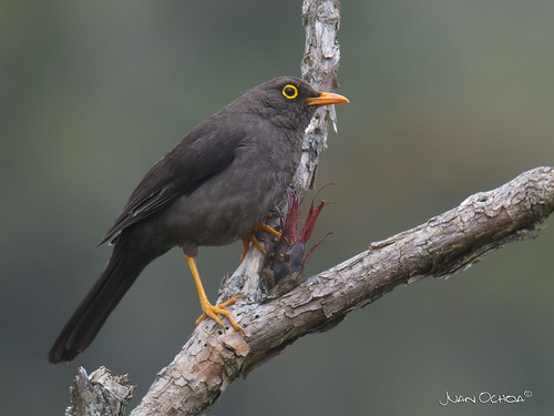 Turdus fuscater - Great Thrush | by Juango8a