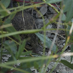 Western Jumping Mouse