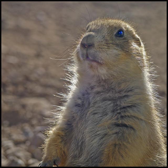 A Z-SO Prairie Dog #1