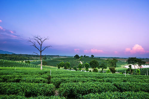 china travel mountain plant tree green nature beautiful field japan season landscape countryside leaf spring scenery asia tea drink terrace outdoor farm hill grow scene row farmland fresh cameron plantation land tropical organic agriculture tranquil cultivation agricultural chiangrai chouifong