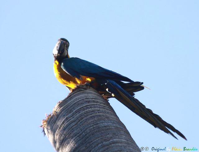 Série com a Arara-canindé, Arara-de-barriga-amarela, Arari, Arara-amarela, Arara-azul-e-amarela, Araraí e Canindé (Ara ararauna) - Series with the Blue-and-yellow Macaw - 31-05-2015 - IMG_3624