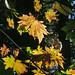 Flickr photo 'J20161006-0017—Acer macrophyllum—RPBG' by: John Rusk.