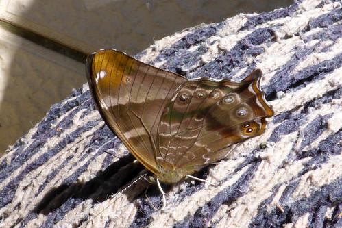 nymphalidae satyrinae lethe dura scarce lilacfork china yunnan butterfly lepidoptera