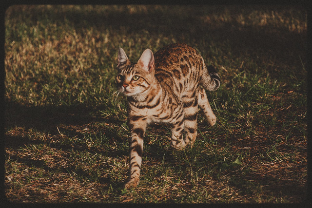 Bris, the Bengal cat