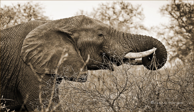 African Bush Elephant (Loxodonta africana)....Kruger N.P., S.A.