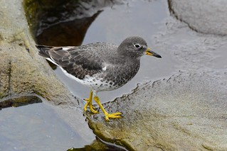 Surfbird (Aphriza virgata) | by R-Gasman