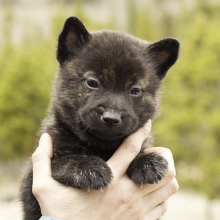 Ayui-Litter4-Day30-Puppy6-Male-a | by brada1878