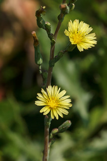 Lactuca serriola (prickly lettuce), inflorescence | by tgpotterfield