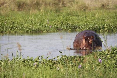 life africa travel summer vacation holiday reflection green love nature water beautiful grass animal animals canon outdoors photography eyes bath safari stare hippo uganda mammals