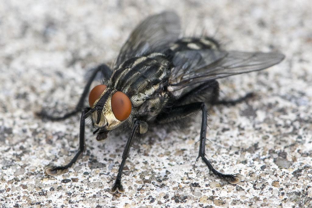 Sarcophaga sp - Flesh Fly