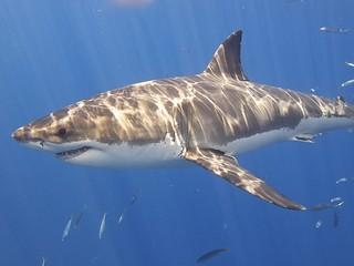 Great White Shark   by Elias Levy