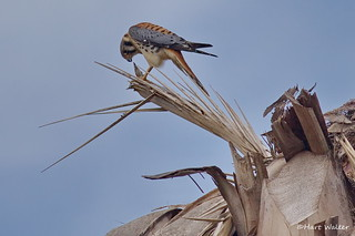 American Kestrel, ad. male, feeding on lizard, West L.A. CA IMG_2528 | by Hart Walter