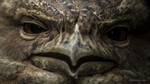 australia queensland tasmania portdouglas 61 tawnyfrogmouth nikond3200 breakfastwiththebirds edgetas abcedge