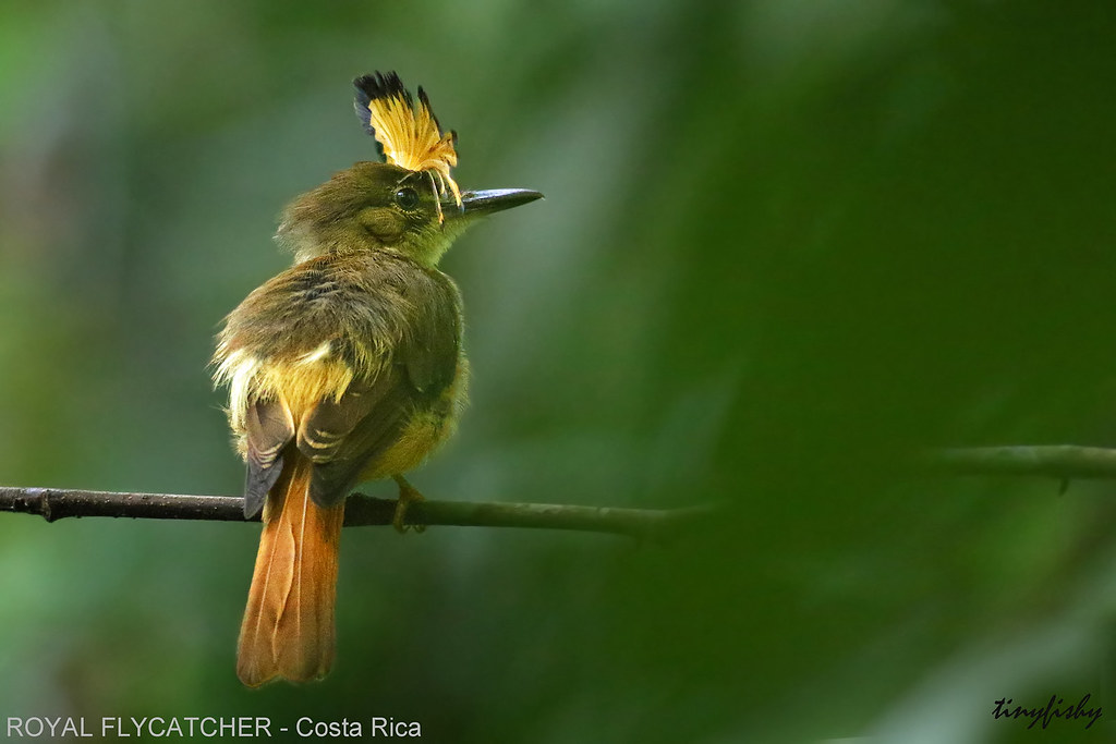 (521b) Northern Royal Flycatcher Displaying Crown - [ Carara NP. Costa Rica ]