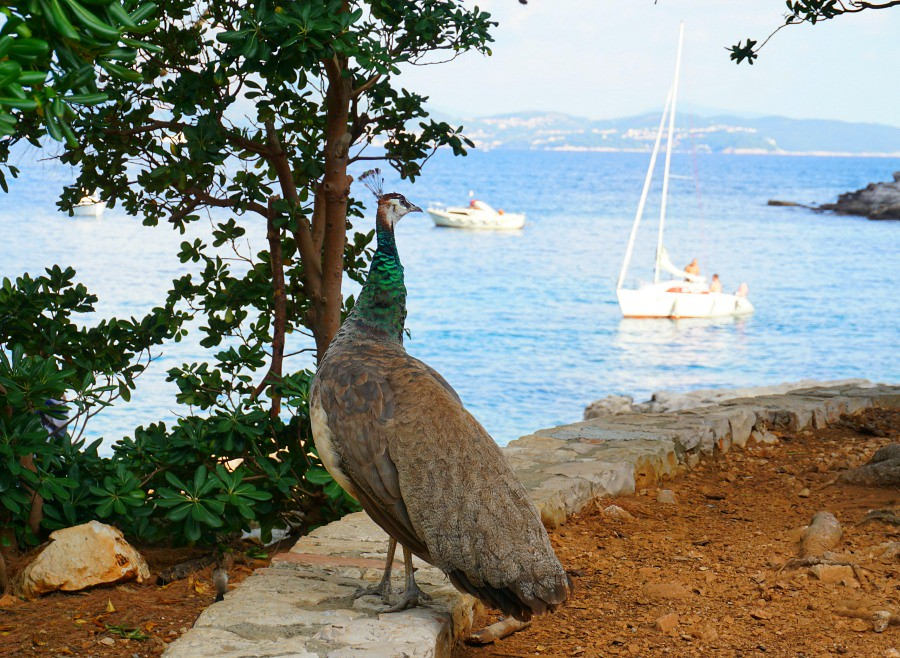 Lokrum Island Croatia Peacock