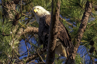 Berry Female Bald Eagle 2 | by Jason Blalock
