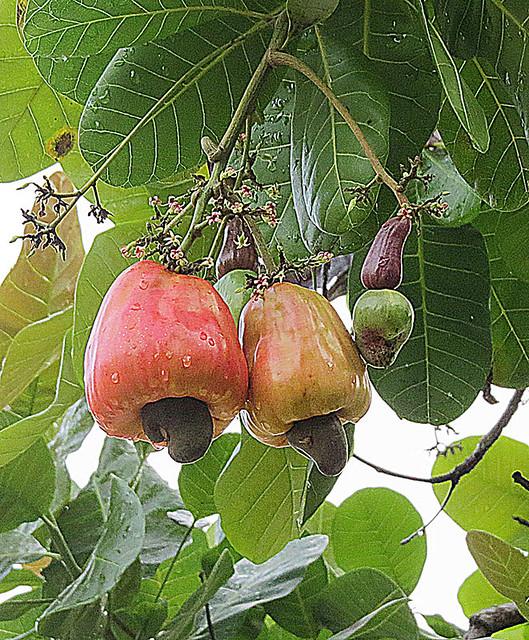 Anacardium occidentale--  Cashew apple and nut