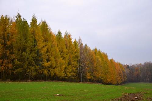 larch tree trees forest woods autumn fall weather cloudy dark landscape view nature green colours łódzkie lodzkie polska poland wągry lodzhillslandscapepark parkkrajobrazowywzniesieńłódzkich