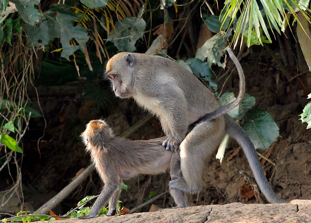 Monkey Business on the Kinabatangan River, near Bilit, Sabah, doing what Monkeys do best or at least most of the time!