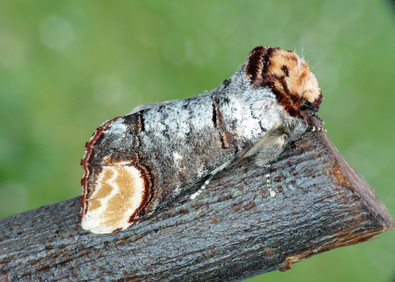 1994 Buff-tip - Phalera bucephala