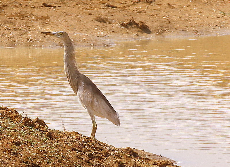 Birds and Birds -Egrets | Seen In Koothangulam Bird Sanctuar… | Flickr
